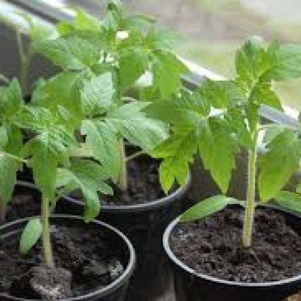 Как и чем подкормить рассаду перца и помидор в домашних условиях